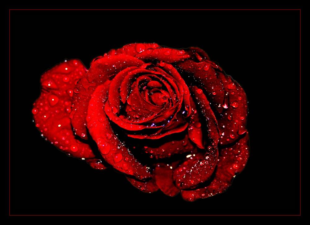 - Rose I -