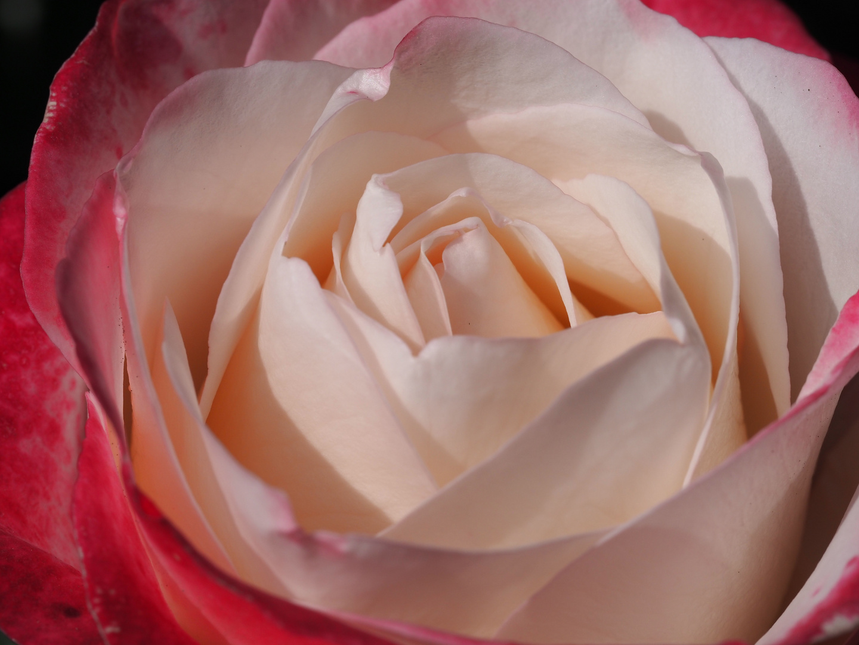 Rose - Ice
