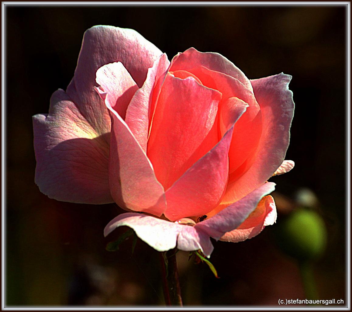 """""""Rose II."""""""