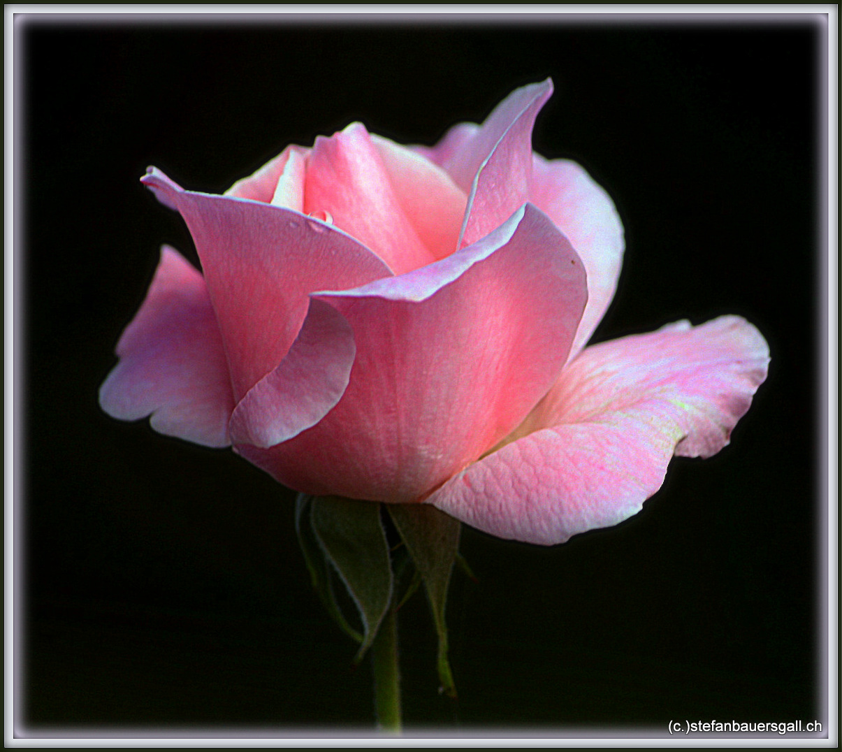 """Rose III."""