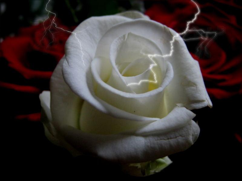 rose im blitz