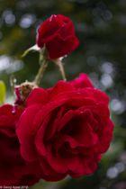 Rose im Burggarten