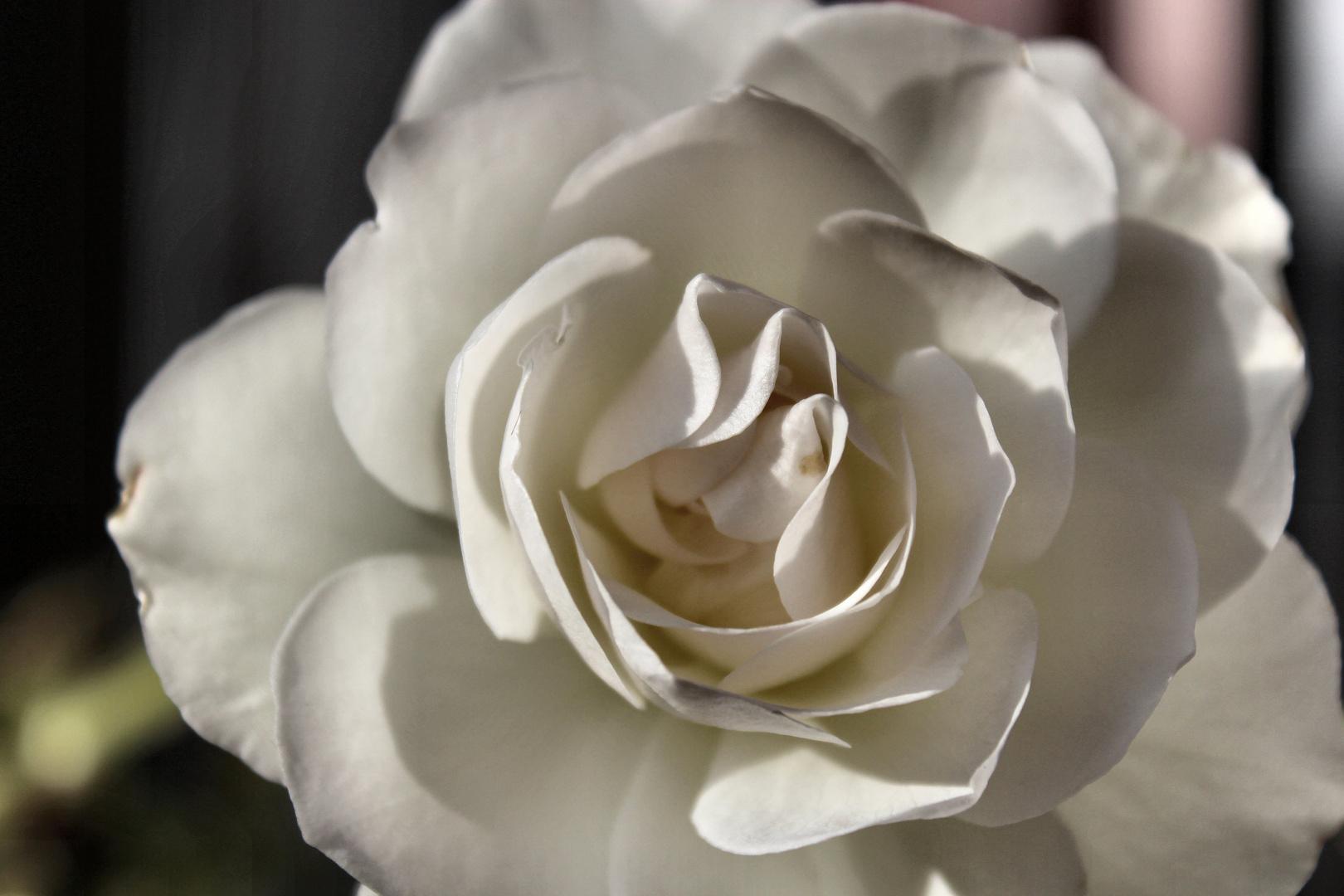 Rose im Dezember