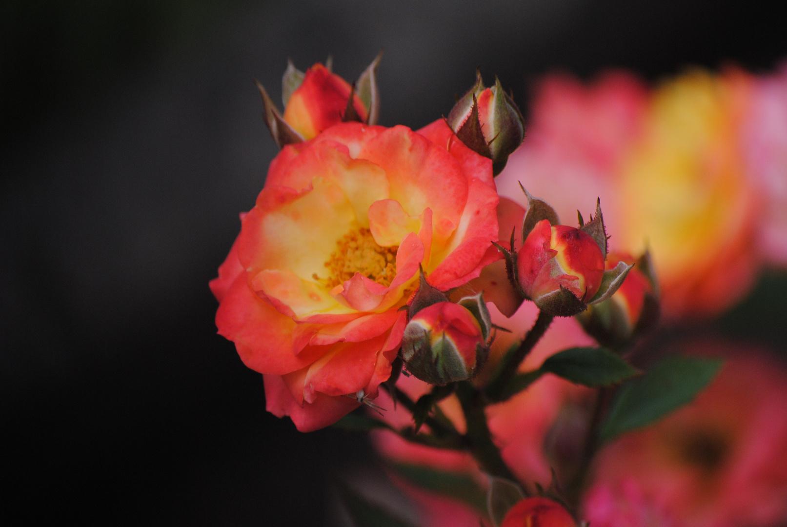 Rose im Feuer