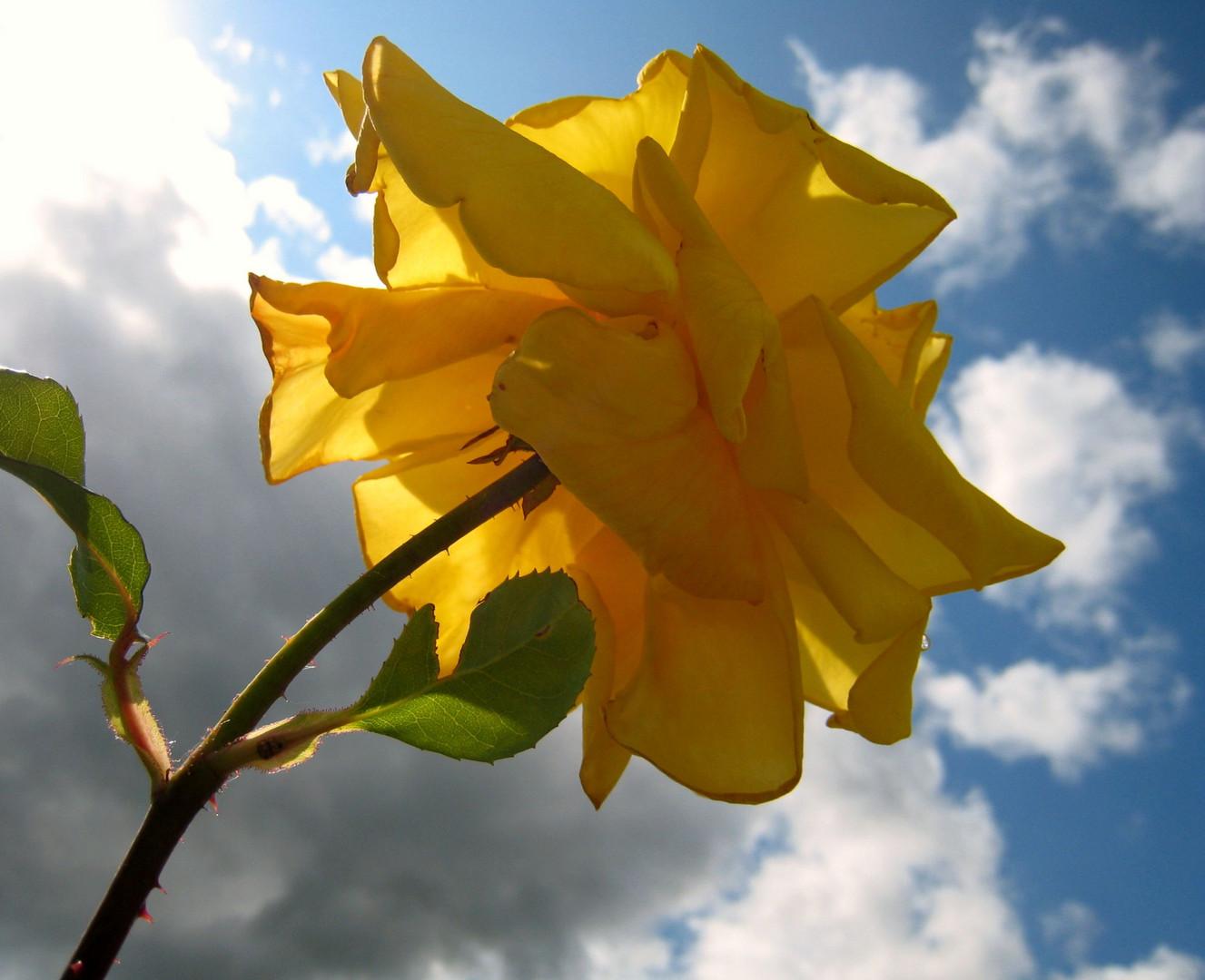 Rose im Gegenlicht