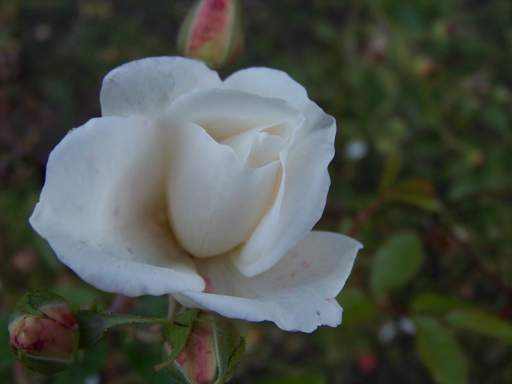 rose im herbst