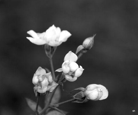 Rose im Herbst in sw