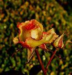 Rose im Januar.