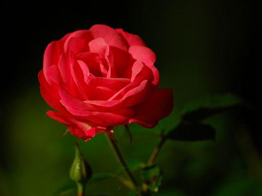 Rose im Laternenlicht