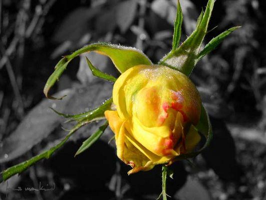 Rose im November