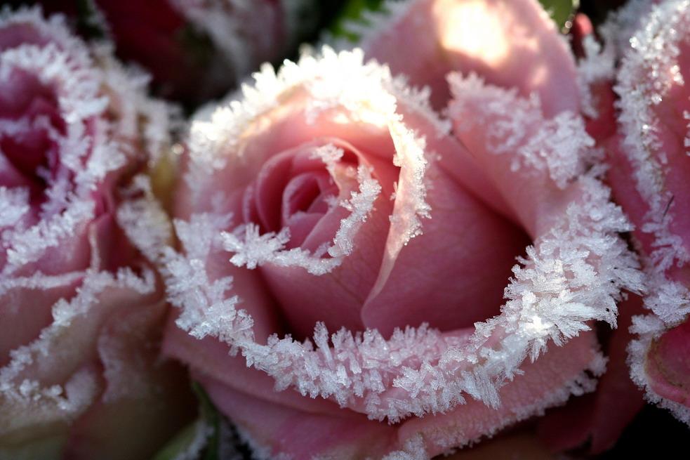 Rose im Pelzmantel