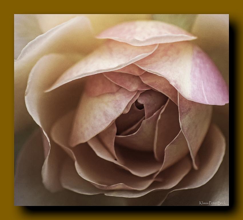 Rose im Quadrat