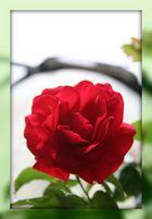 Rose im Rahmen