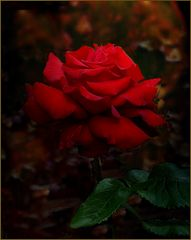 Rose im Schatten