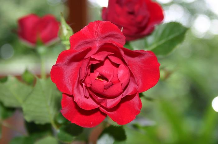 Rose im schlichten Mantel