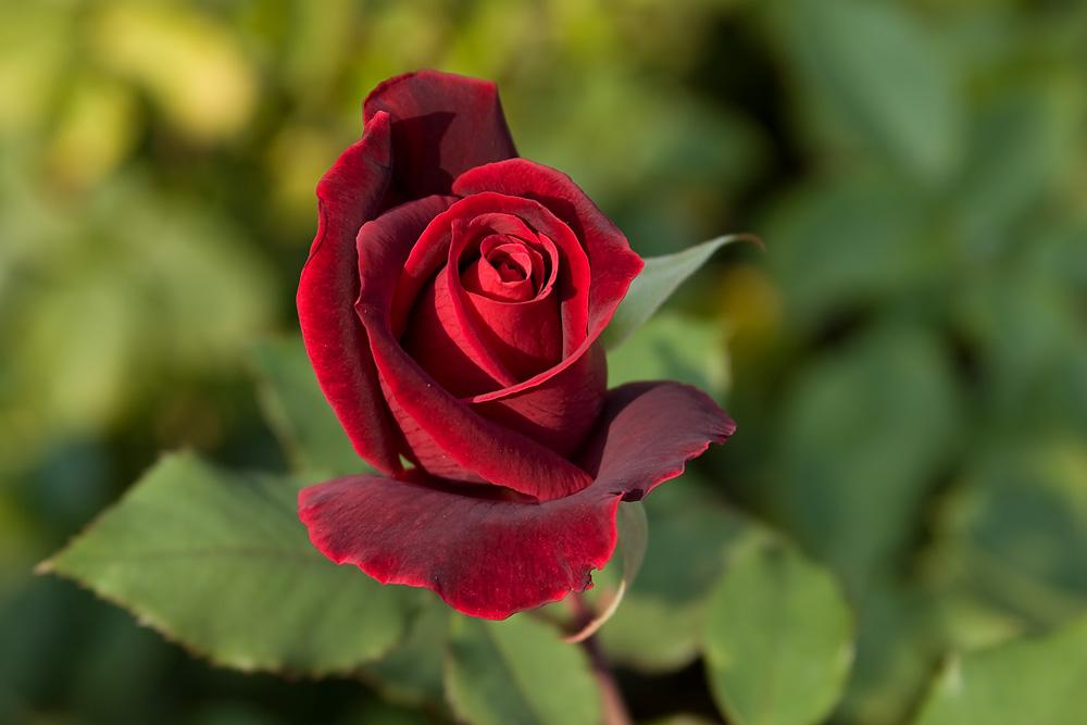 Rose im Schlossgarten von Rapperswil