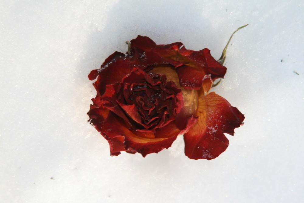 """""""Rose im Schnee"""""""