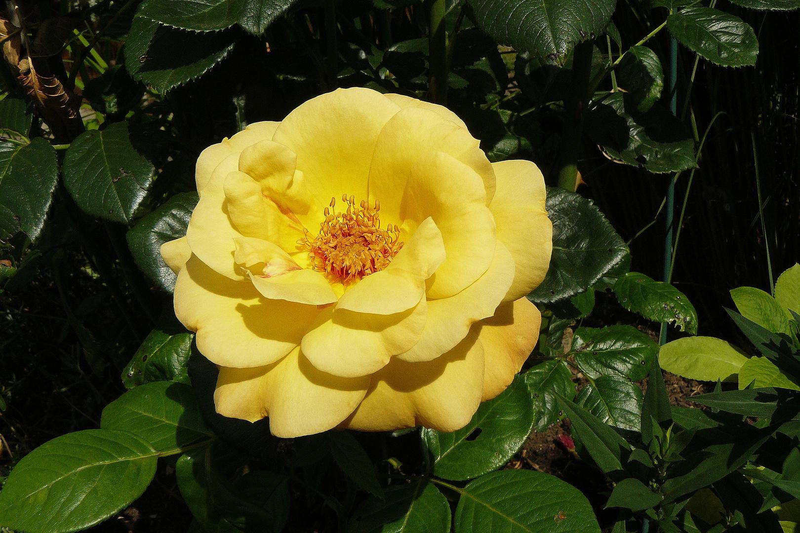 Rose im September nicht mehr jung aber schön