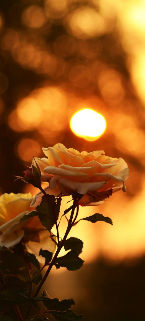 Rose im Sonnenuntergang
