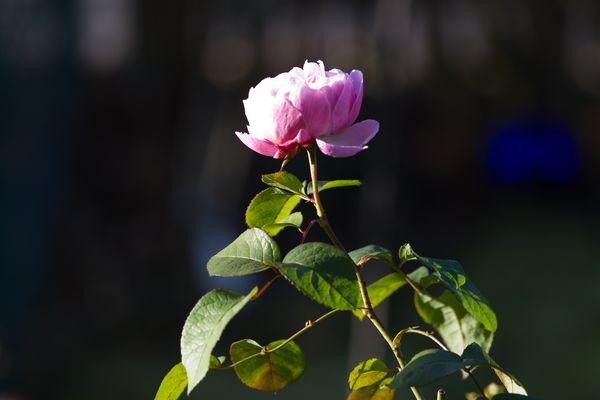 Rose im Spaetherbst