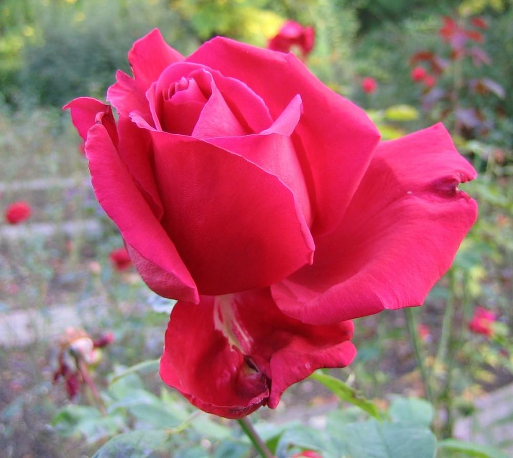 Rose Im Stadtpark