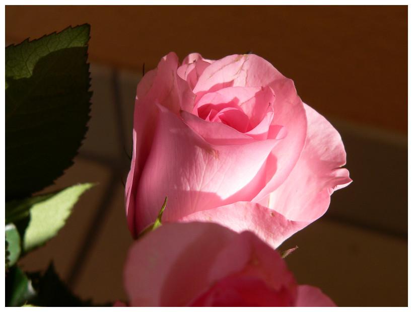 Rose im Streiflicht