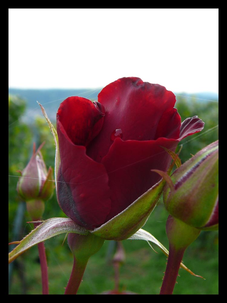 Rose im Weinberg