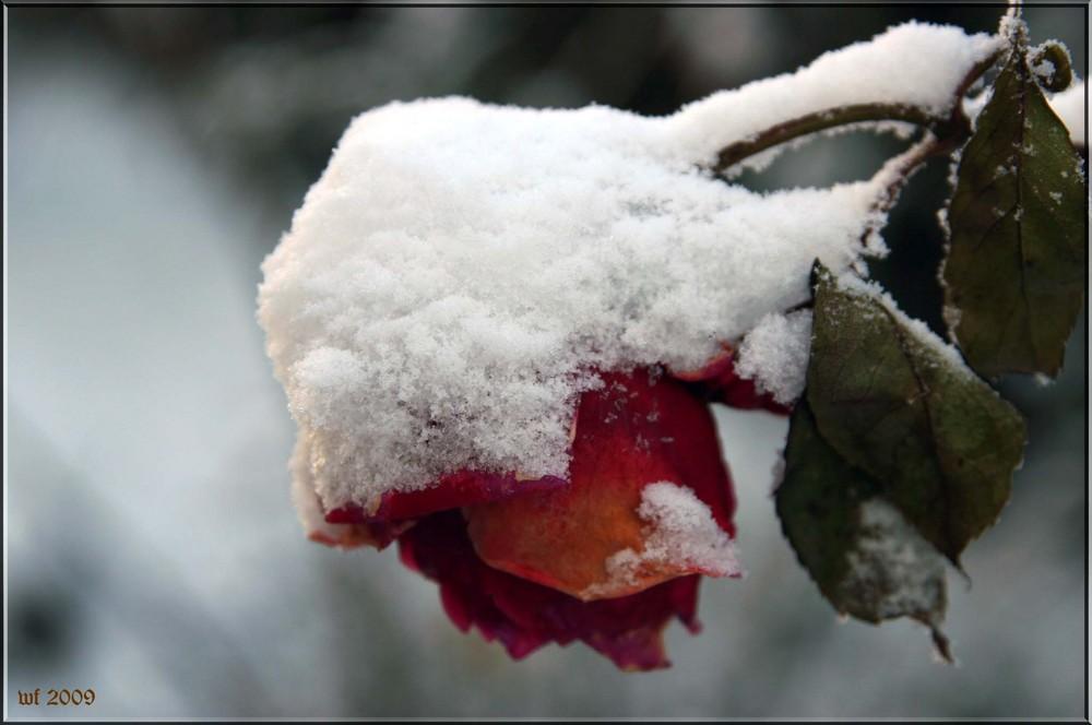 Rose Im Winter