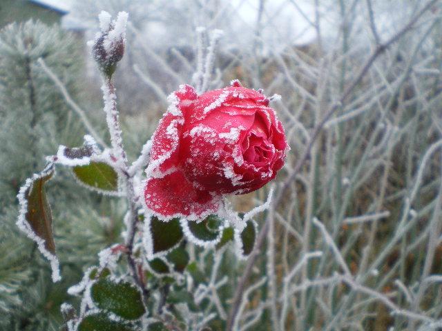 rose im winter foto bild pflanzen pilze flechten pflanzen im winter natur bilder auf. Black Bedroom Furniture Sets. Home Design Ideas