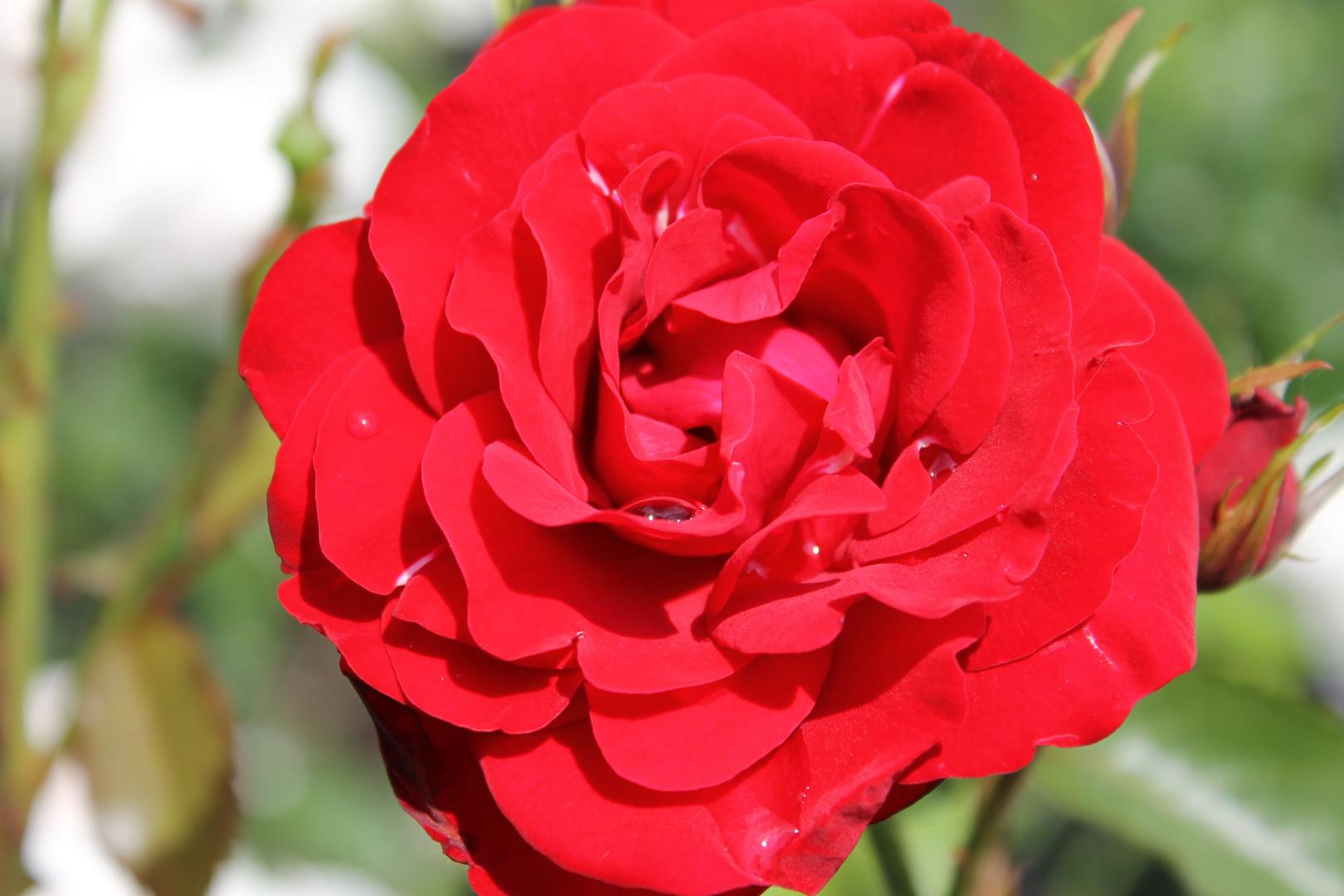 Rose im Wordgarten