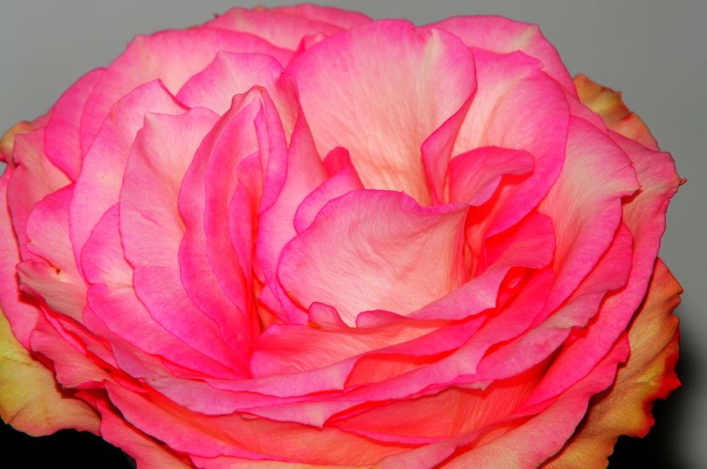 Rose immer Schön