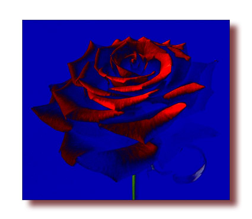 Rose in 3D