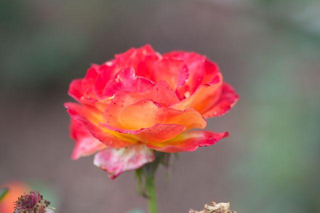 Rose in Afrika