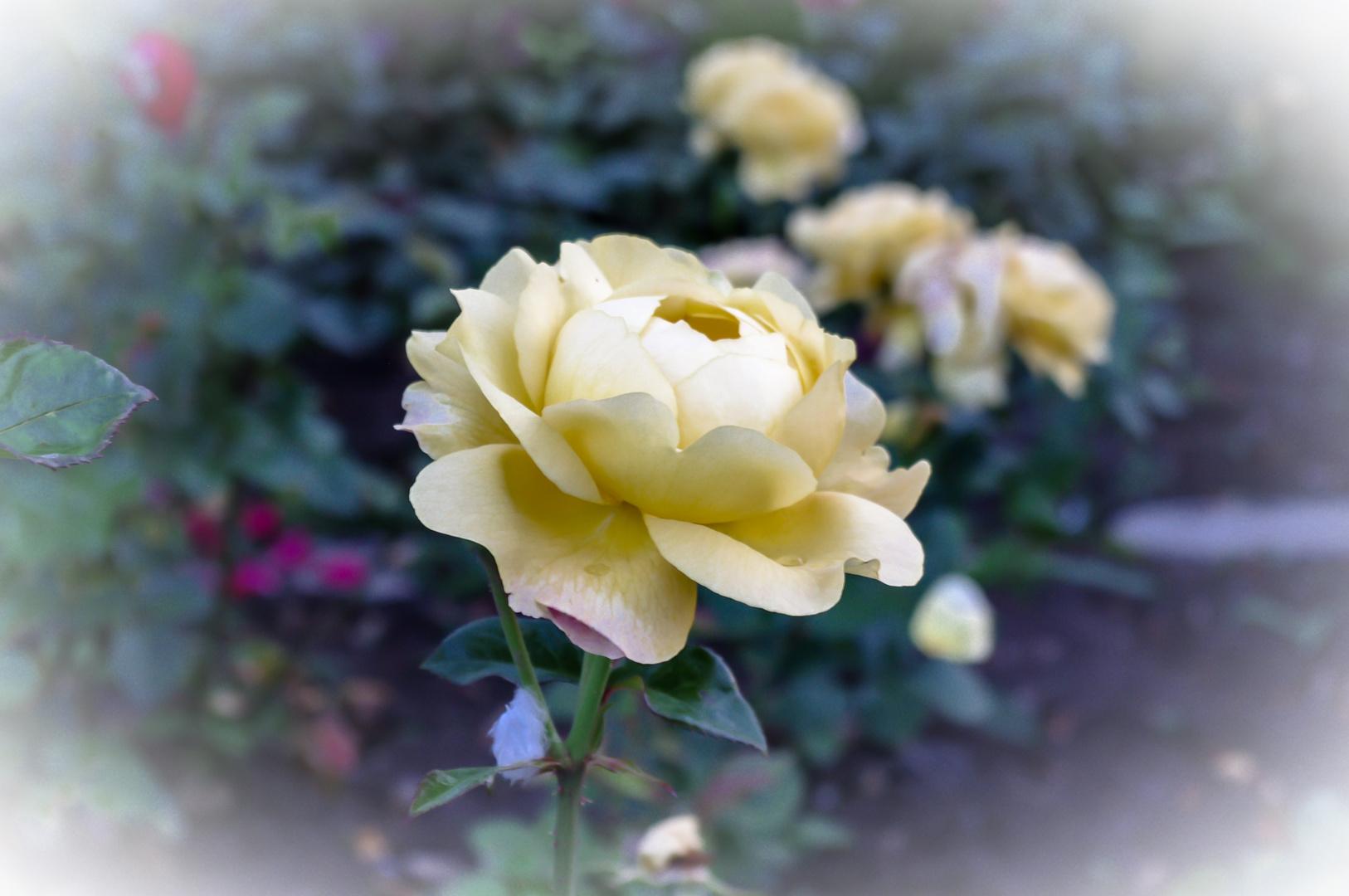 Rose in Beige