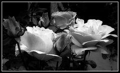 Rose in bianco e nero...