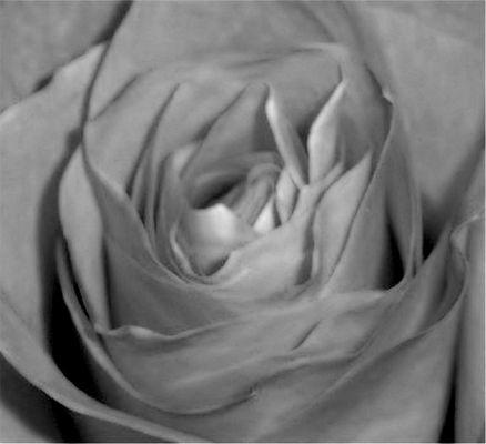 rose in black&white