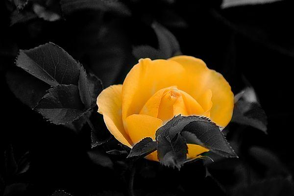 Rose in Colorkey.