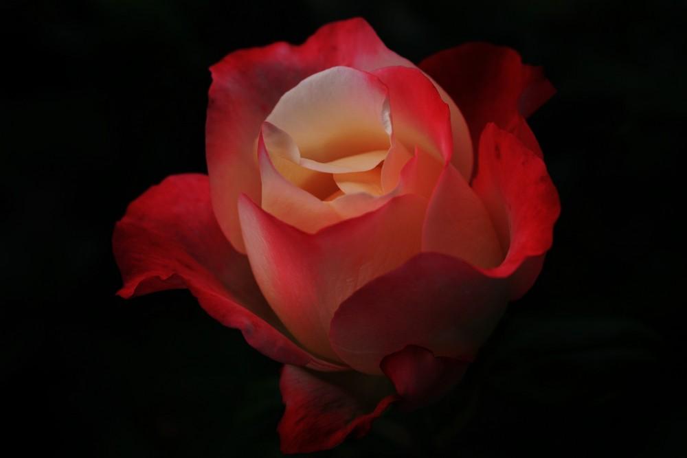 Rose in der Nacht