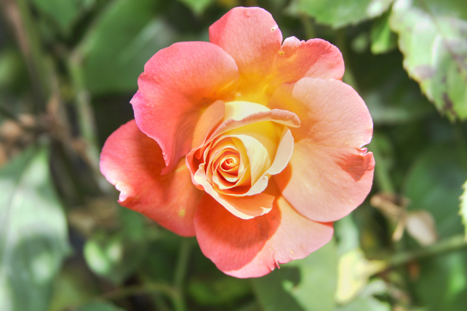 Rose in der Sonne