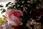 Rose in eine andere Position gestellt