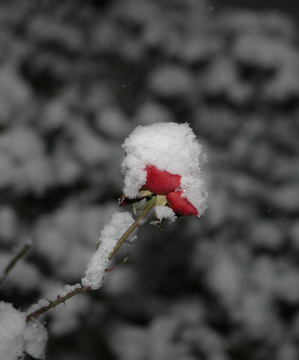 Rose in einer Winternacht