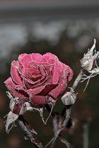 Rose in Eiskristalen