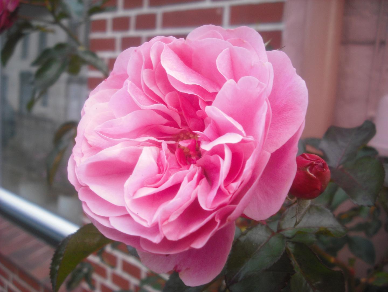 rose in friedrichstadt