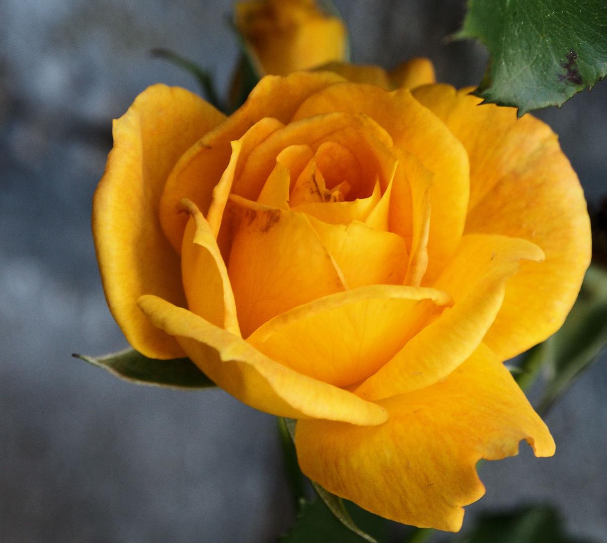 Rose in gelb....