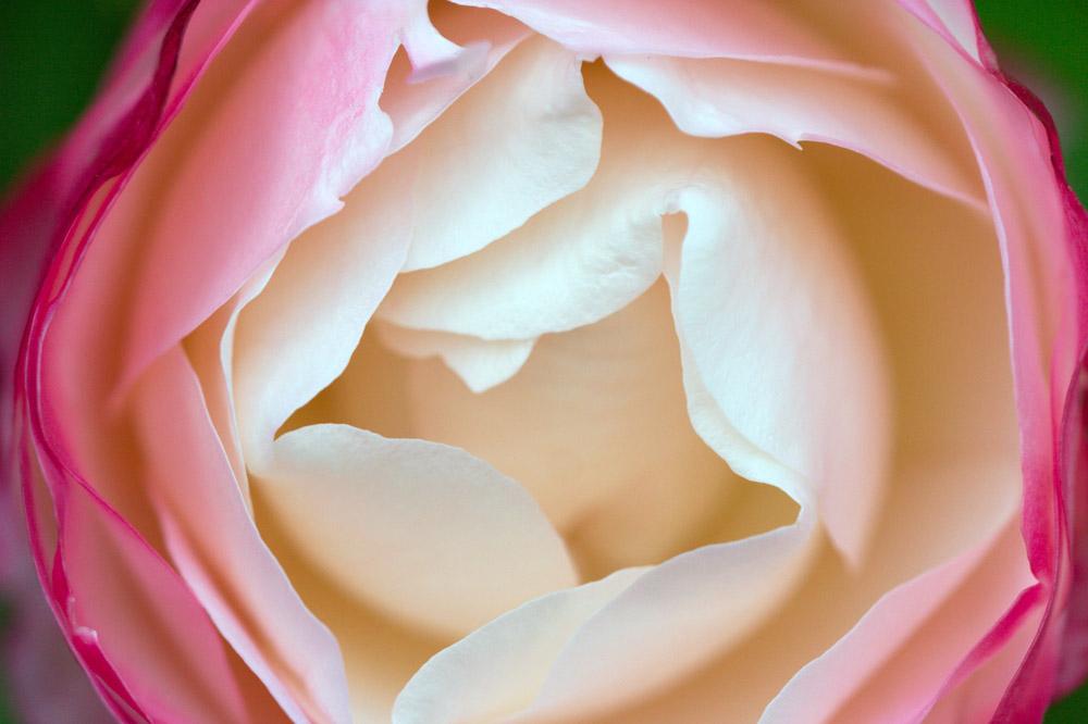 Rose in groß