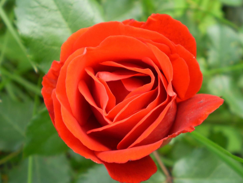 Rose in höchster Vollendung