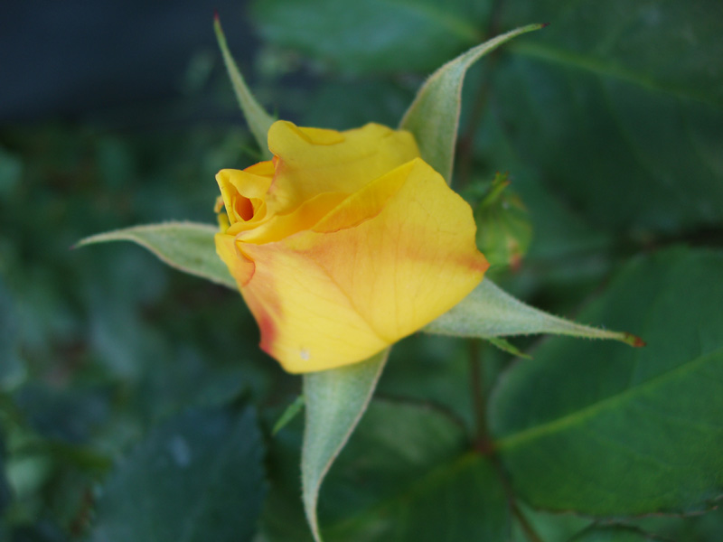 Rose in meinem Garten