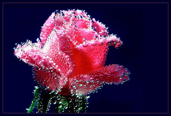Rose in Mineralwasser