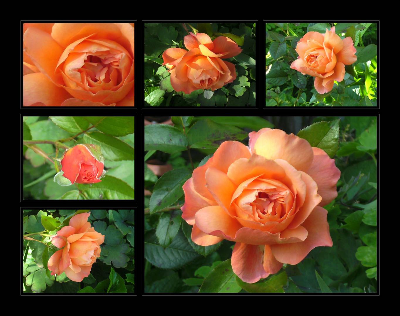 ...Rose in Orange...