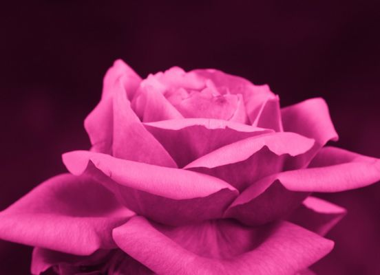 [ Rose in Pink... ]